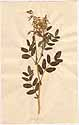 Astragalus frigidus A. Gray, front