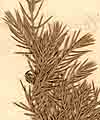 Juniperus bermudiana L., close-up x8
