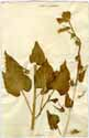 Nicotiana glutinosa L., front