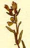 Scutellaria minor L., inflorescens x8