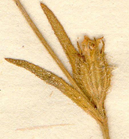 Linnean herbarium (S-LINN), Silene cerastioides L.